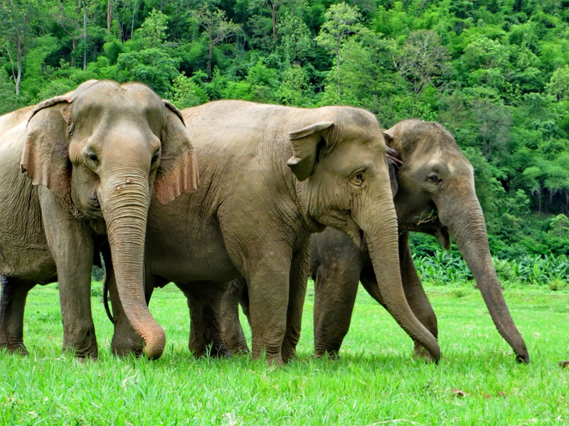 essay on african elephants Read this essay on elephant poaching african elephants, originally, were found in all of the sub-saharan african habitats except desert steppes elephants.