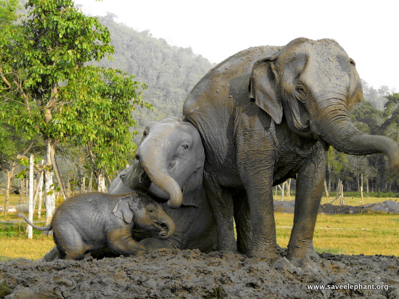 baby elephant navann elephant nature park save elephant foundation. Black Bedroom Furniture Sets. Home Design Ideas