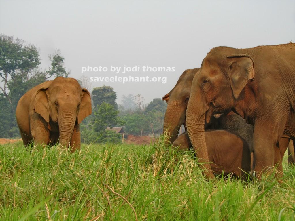 Mae Keow  Elephant Nature Park  Save Elephant Foundation