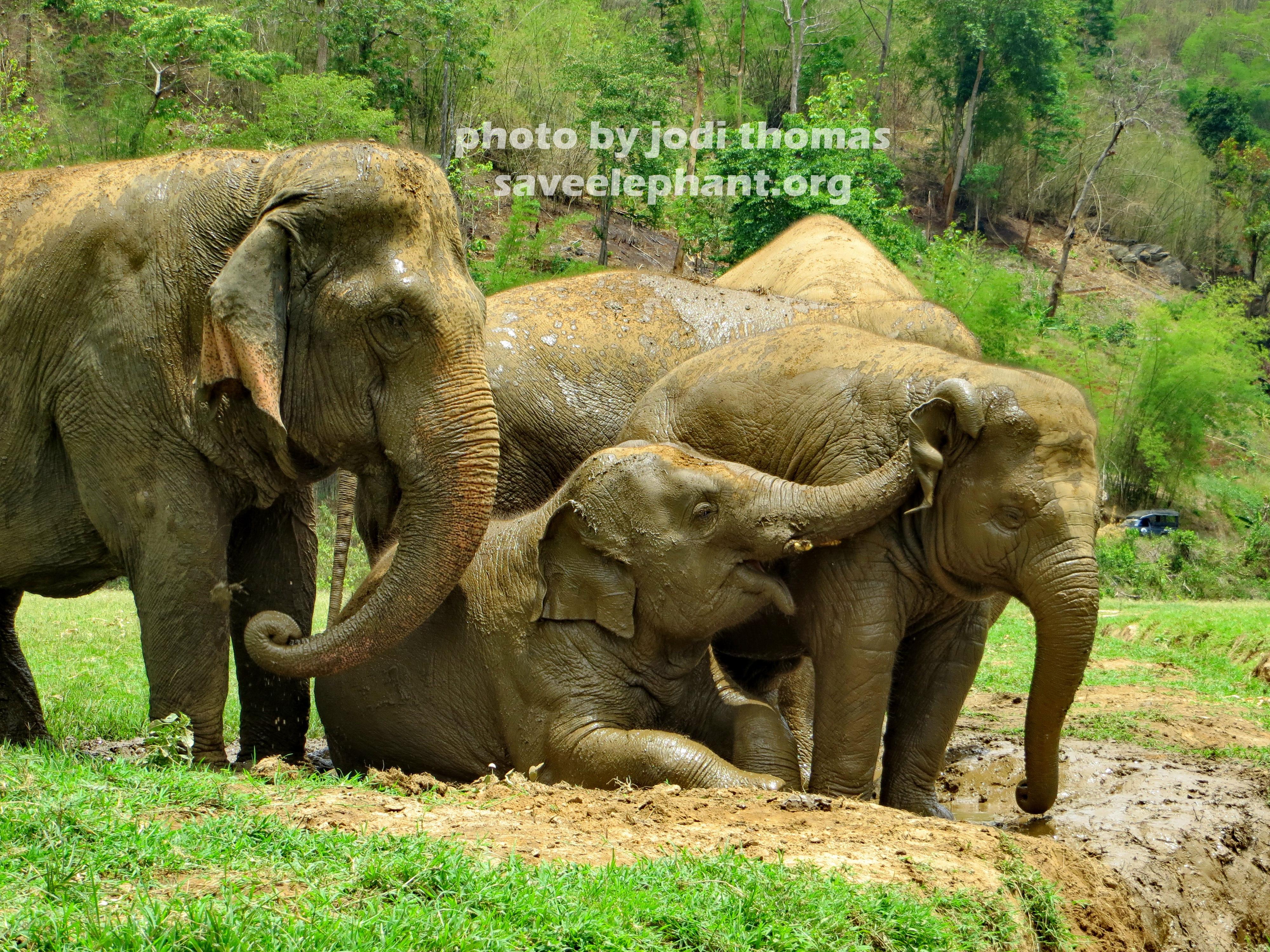 Baby elephant archives save elephant foundation online - Babyzimmer elefant ...
