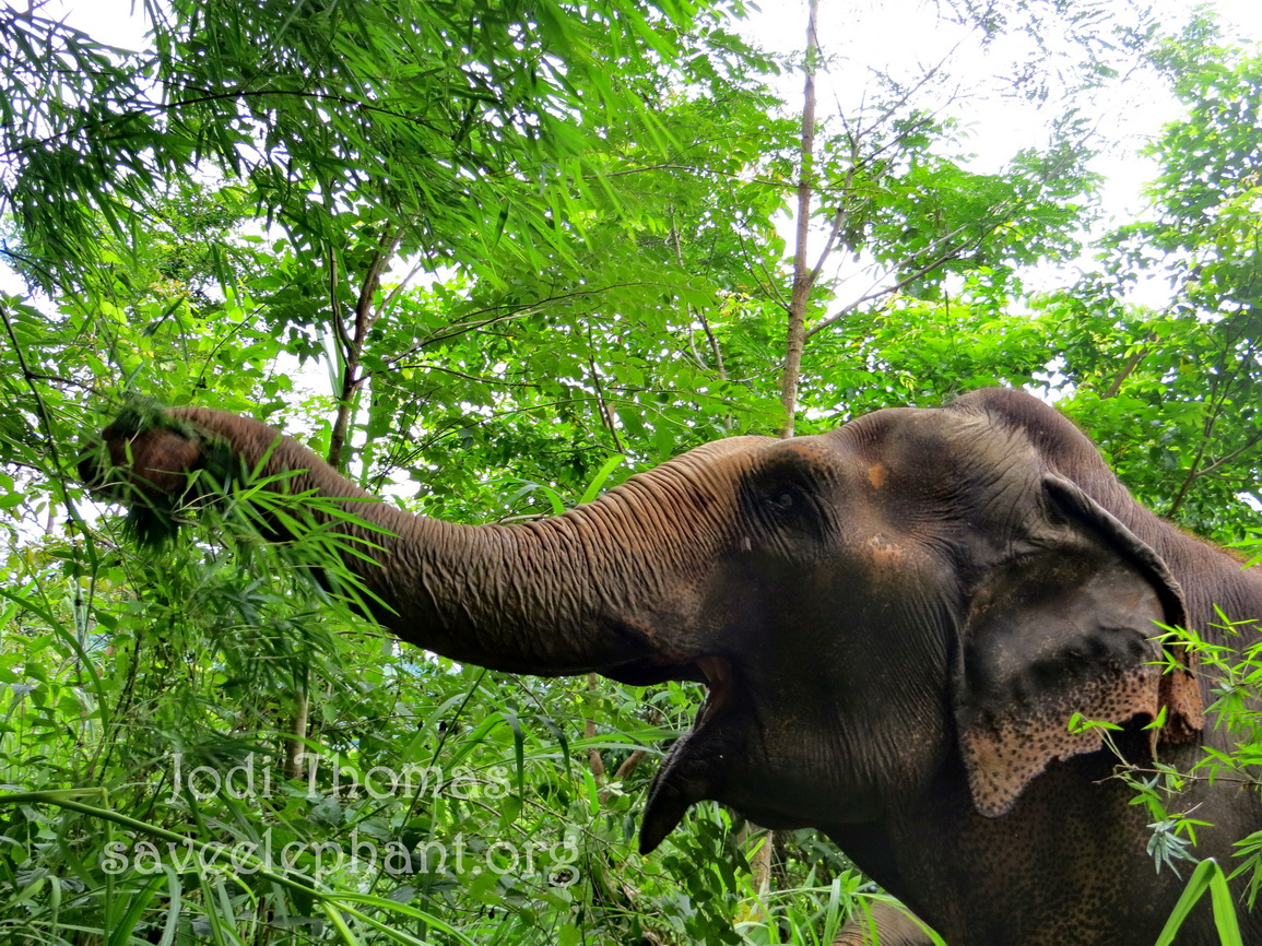 Foraging in the jungle  is a favourite activity for elephants.  Photographing  them in their natural habitat is an unforgettable experience!