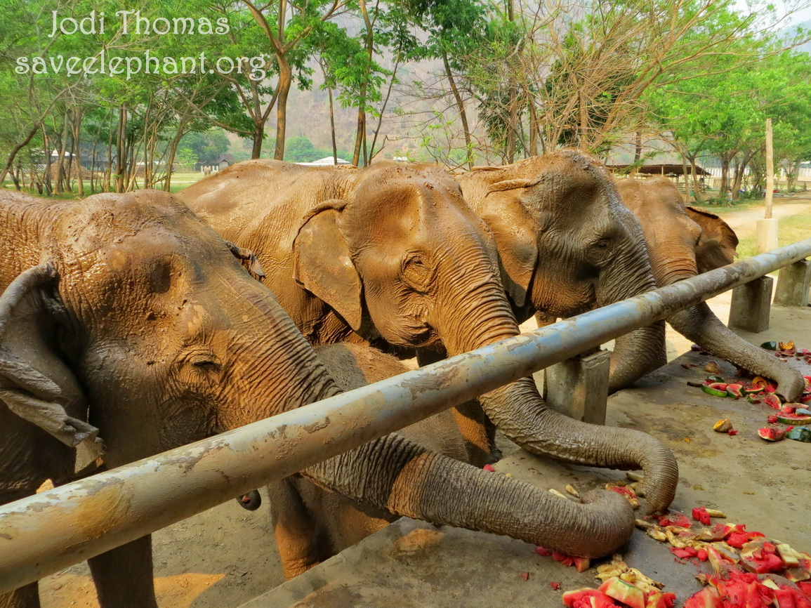 Myanmar elephant project archives save elephant foundation the future of thai elephants looks bright sciox Images