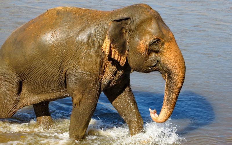 Female ♀ Asian elephant (Elephas maximus) Tilly at Elephant Nature Park (Sangduen Chailert)