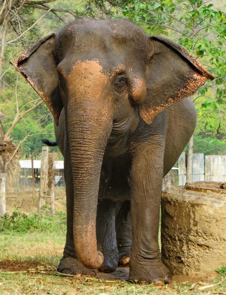 Female ♀ Asian elephant (Elephas maximus) Sook Sai at Elephant Nature Park (Sangduen Chailert)