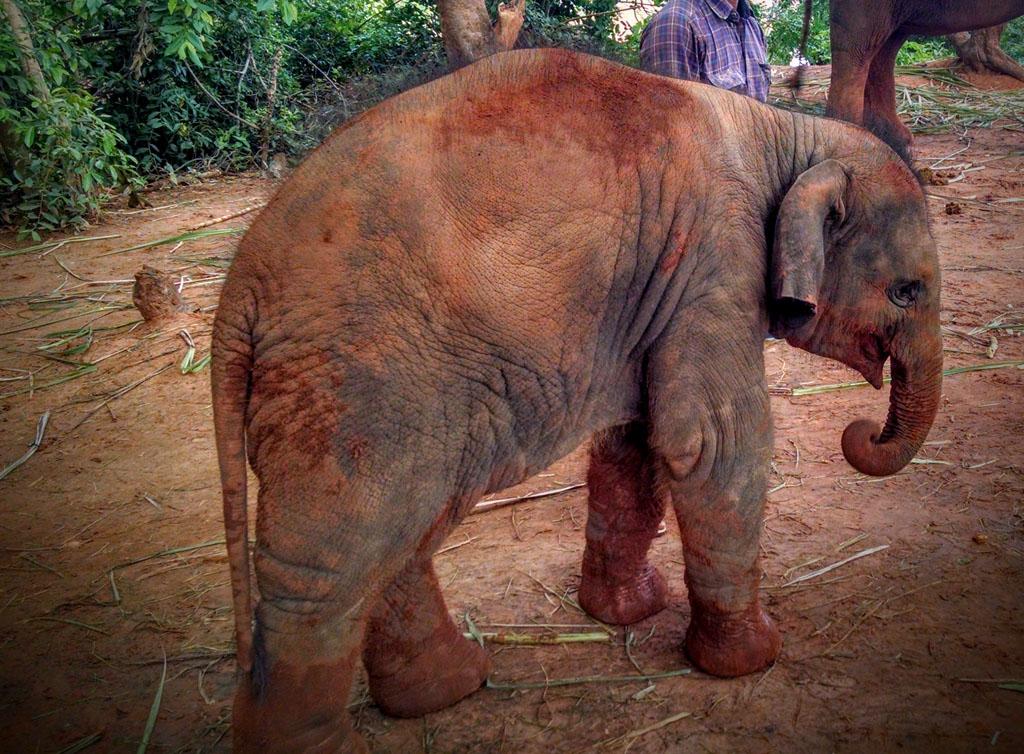 Female ♀ Asian elephant (Elephas maximus) Anda at Surin elephant study center (Baan Tha Klang Elephant Village)