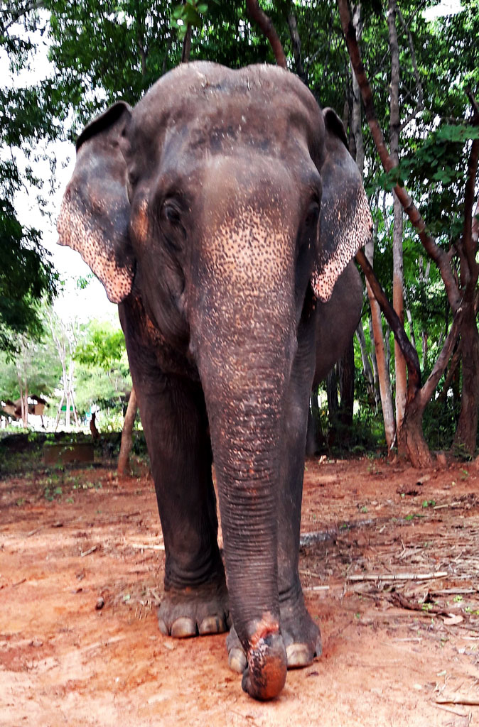 Female ♀ Asian elephant (Elephas maximus) Maleewan at Ban Ta Klang unspecified owner